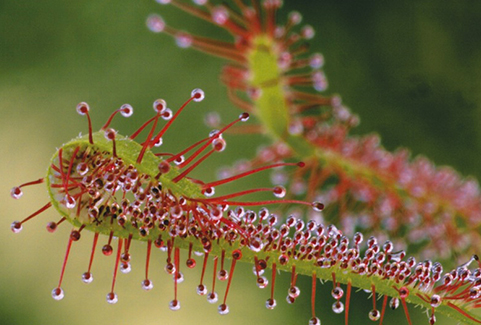 Untangling how carnivorous plants catch their preys, helps design new materials